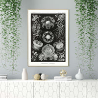 Ascomycetes by Ernst Haeckel Poster