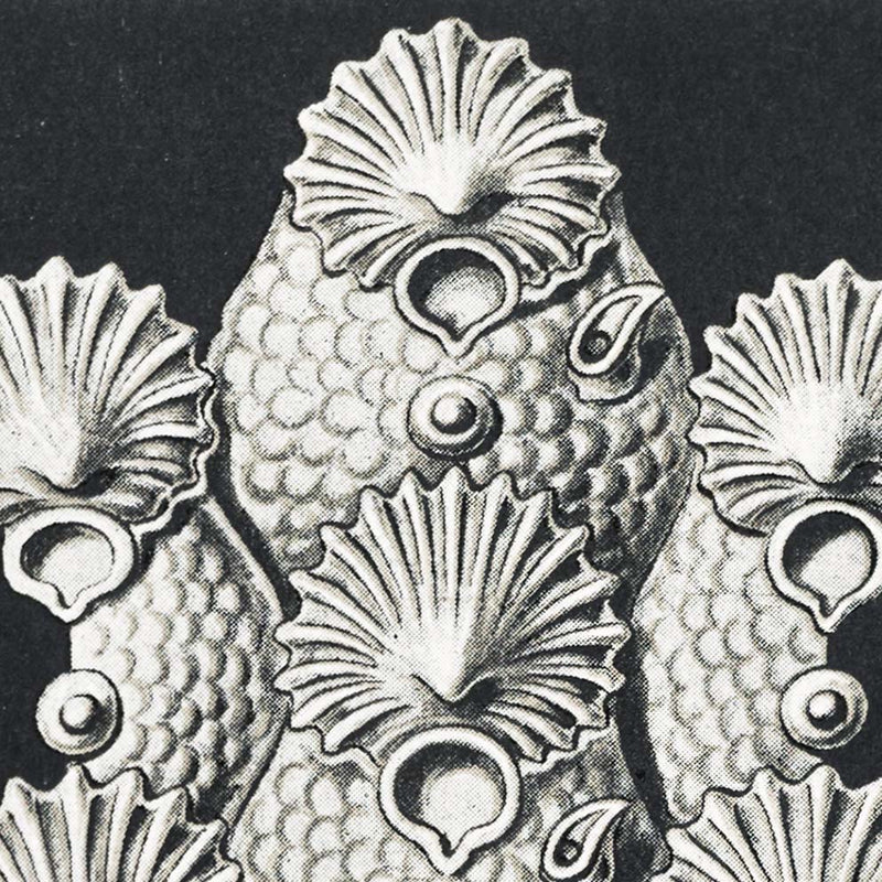 Details about  /Bryozoa Drawing 1899 by Ernst Haeckel Poster