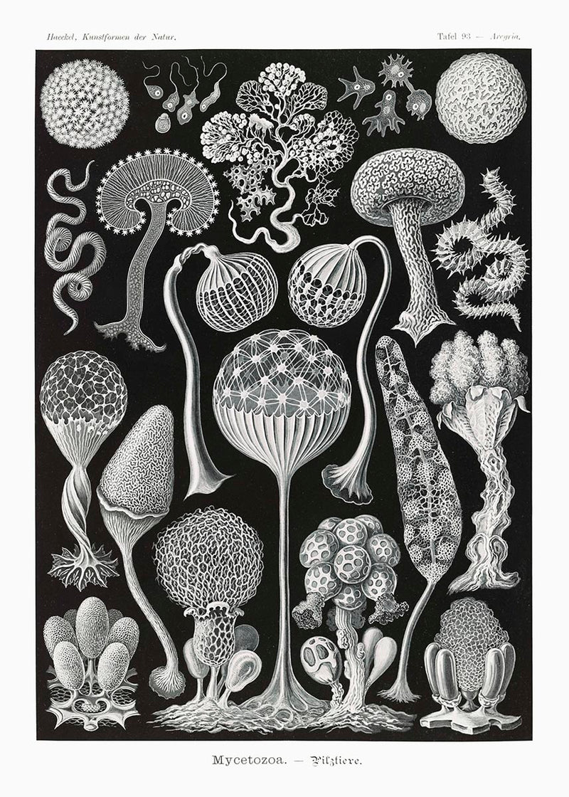 Mycetozoa by Ernst Haeckel Poster with borders