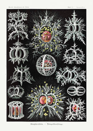 Stephoidea by Ernst Haeckel Poster