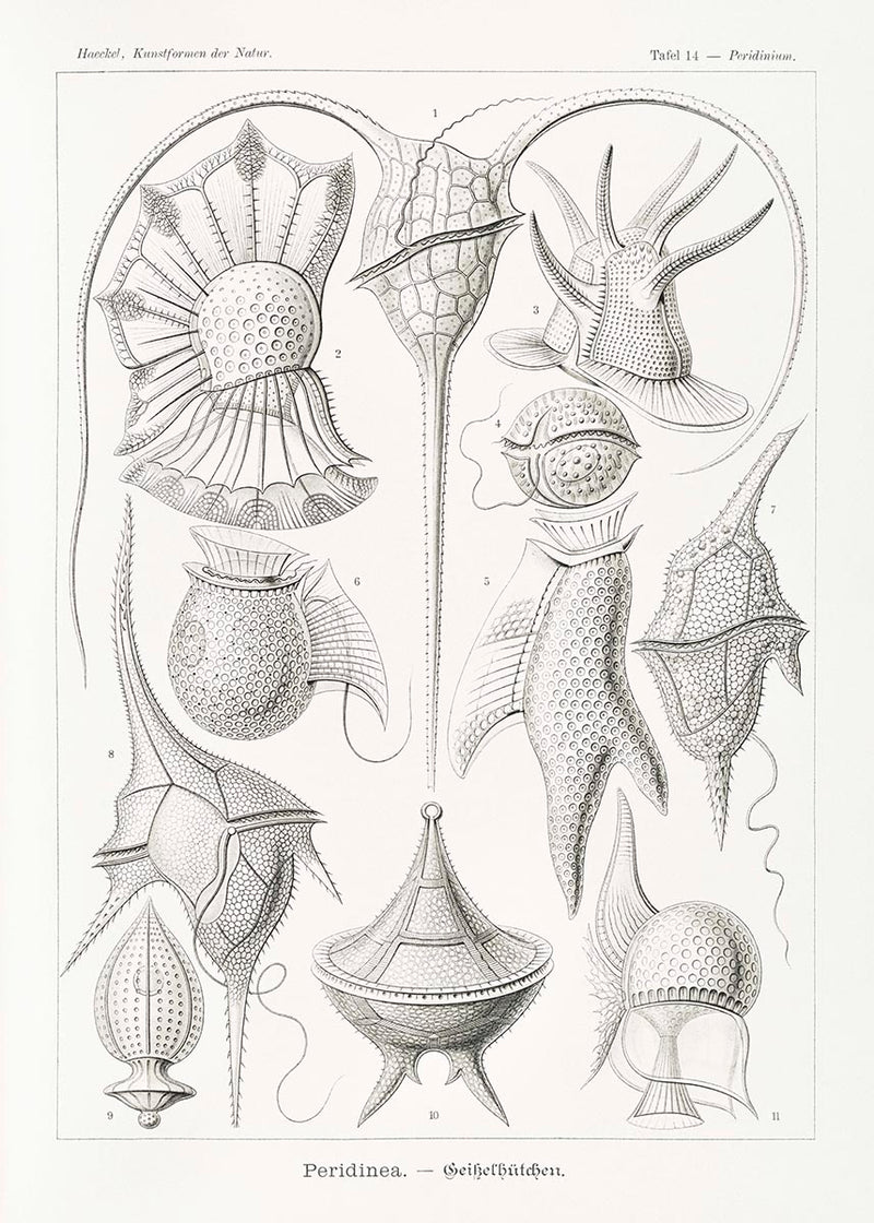 Peridinea by Ernst Haeckel Poster