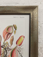 Nepenthaceae Canvas Vintage Wood Frame