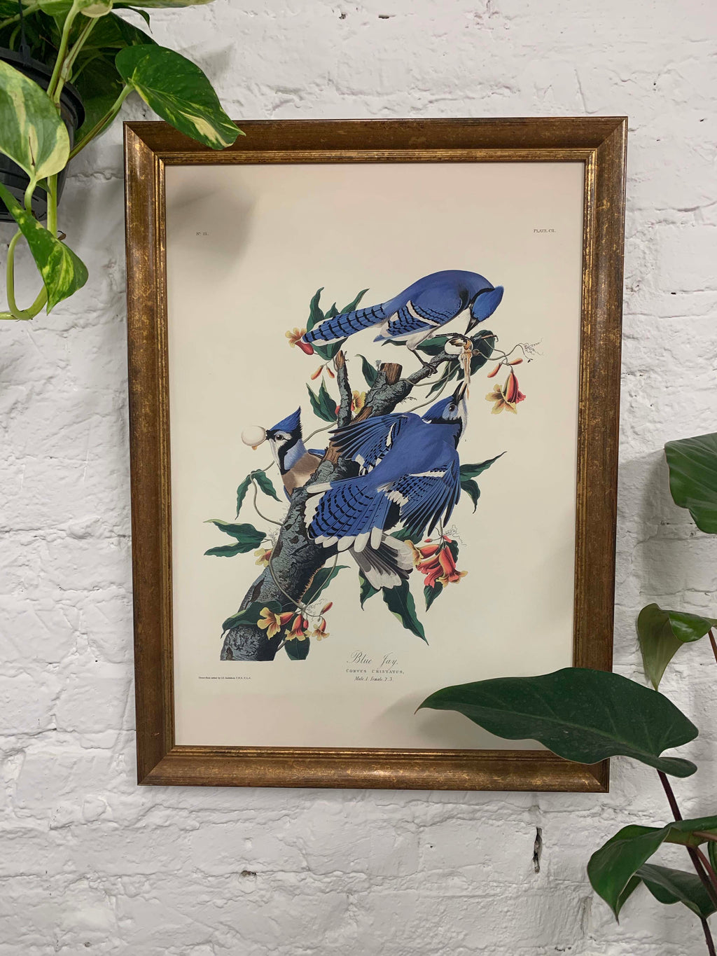 Blue Jay from Birds of America Canvas Vintage Wood Frame