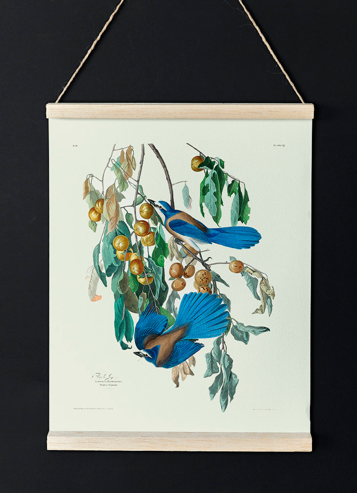 Florida Jay of Birds of America - Kuriosis Vintage Prints