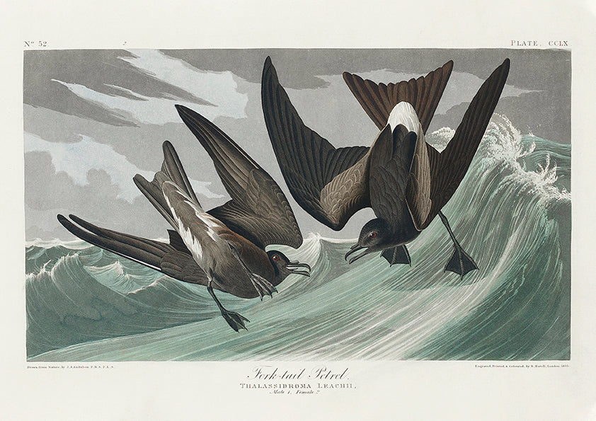 Fork-tailed Petrel of Birds of America - Kuriosis Vintage Prints