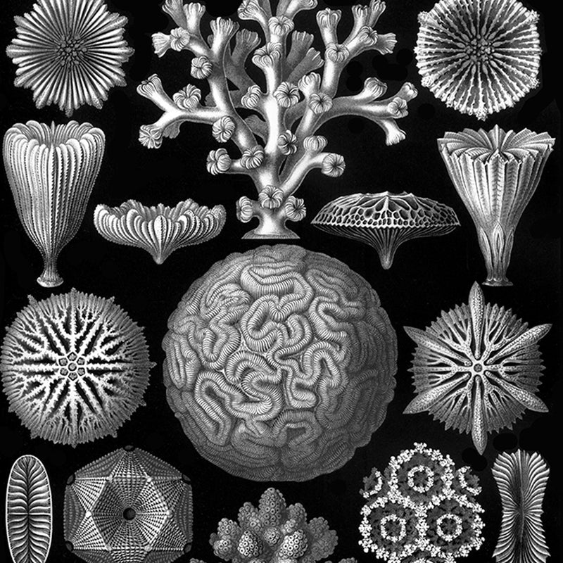 Hexacoralla  by Haeckel Poster - Kuriosis Vintage Prints