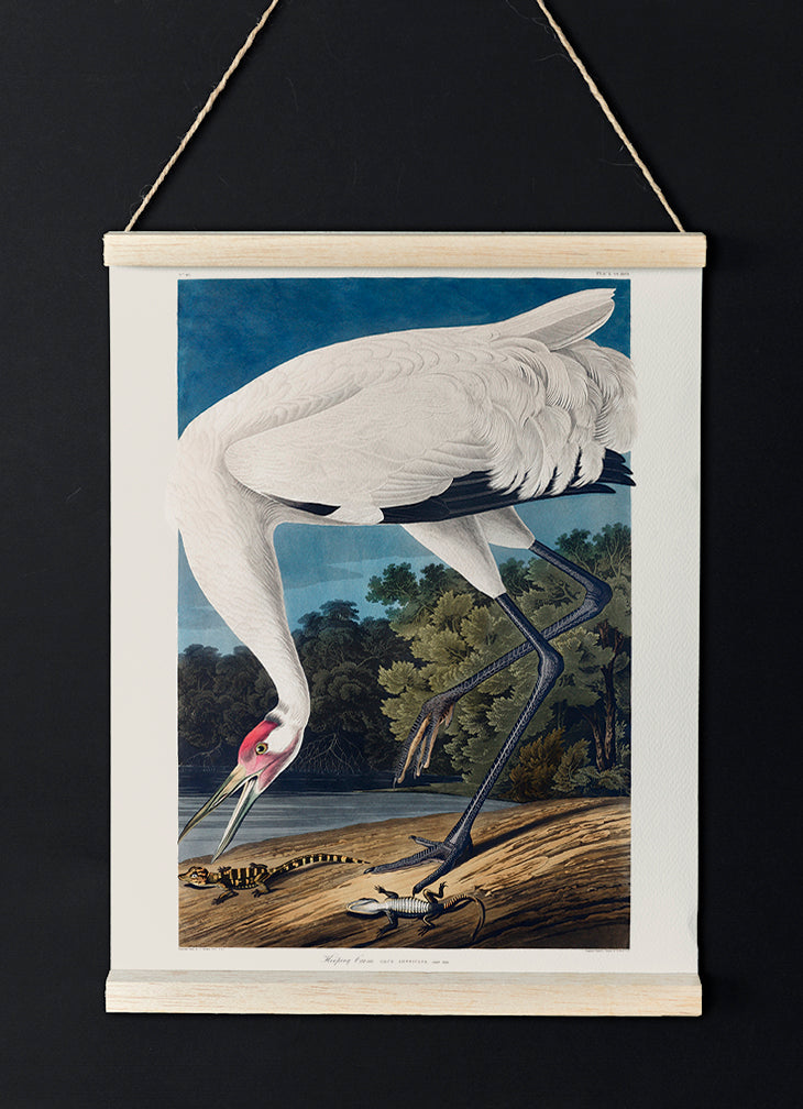 Hooping Crane of Birds of America - Kuriosis Vintage Prints