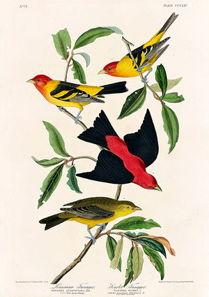 Louisiana Tanager and Scarlet Tanager of Birds of America - Kuriosis Vintage Prints