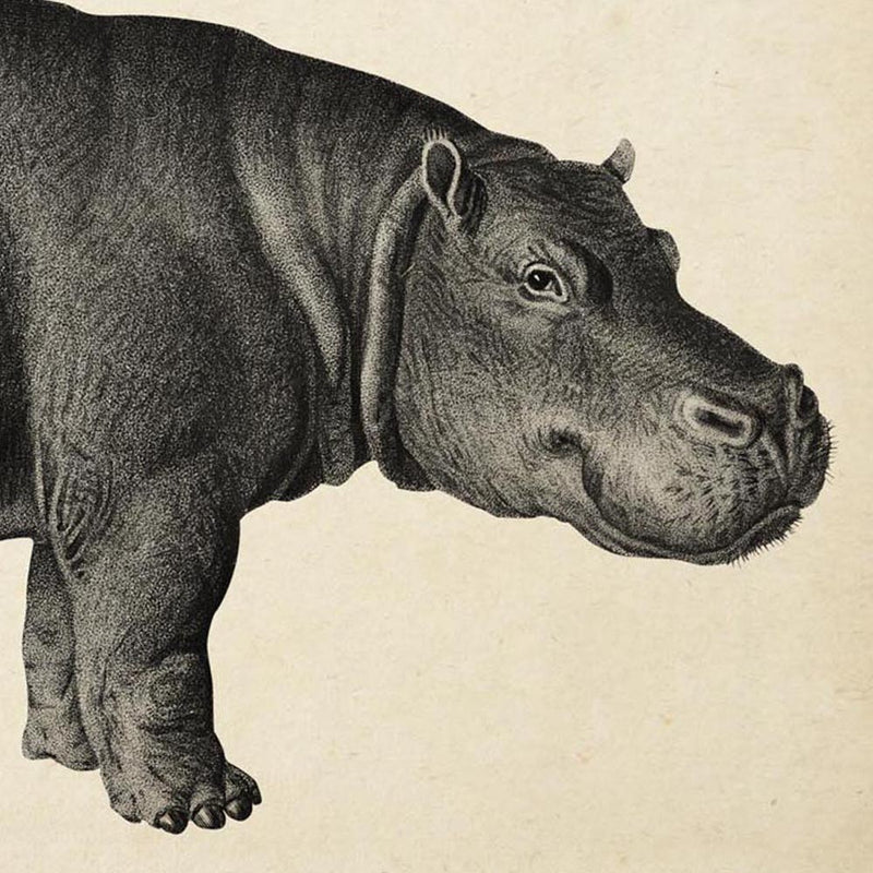 Antique Hippo Poster from KURIOSIS.COM