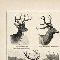 Antique Deer Poster from KURIOSIS.COM