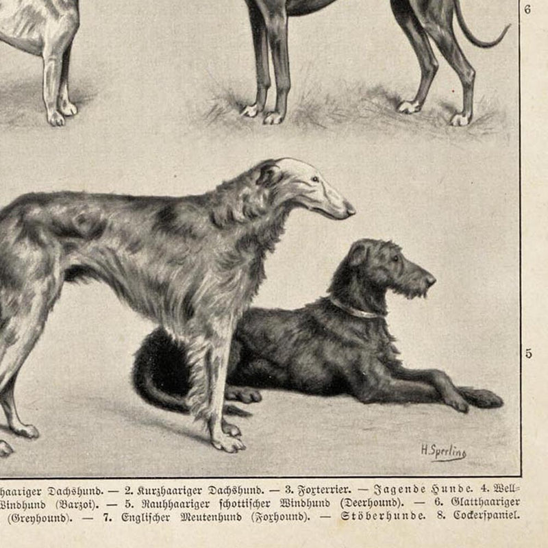 Antique Dog Breeds IV Poster from KURIOSIS.COM
