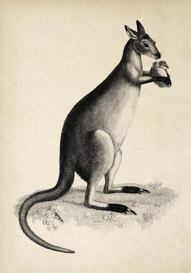 Antique Kangaroo Poster by KURIOSIS