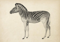 Antique Zebra Poster by KURIOSIS