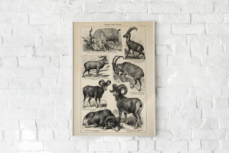 Antique Sheep and Goat I Poster by KURIOSIS