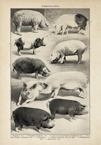 Antique Pig Breeds Poster by KURIOSIS