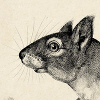 Antique Squirrel Poster by KURIOSIS