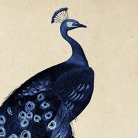 Antique Blue Peacock Poster by KURIOSIS