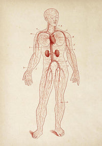 Antique Full Body Blood Circulation Red Poster by KURIOSIS