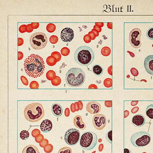 Antique Blood Cells Poster by KURIOSIS