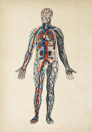 Antique Colorful Blood Circulation Poster by KURIOSIS