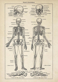 Antique Human Skeleton II Poster by KURIOSIS