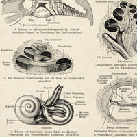 Antique Human Ear Chart Poster by KURIOSIS