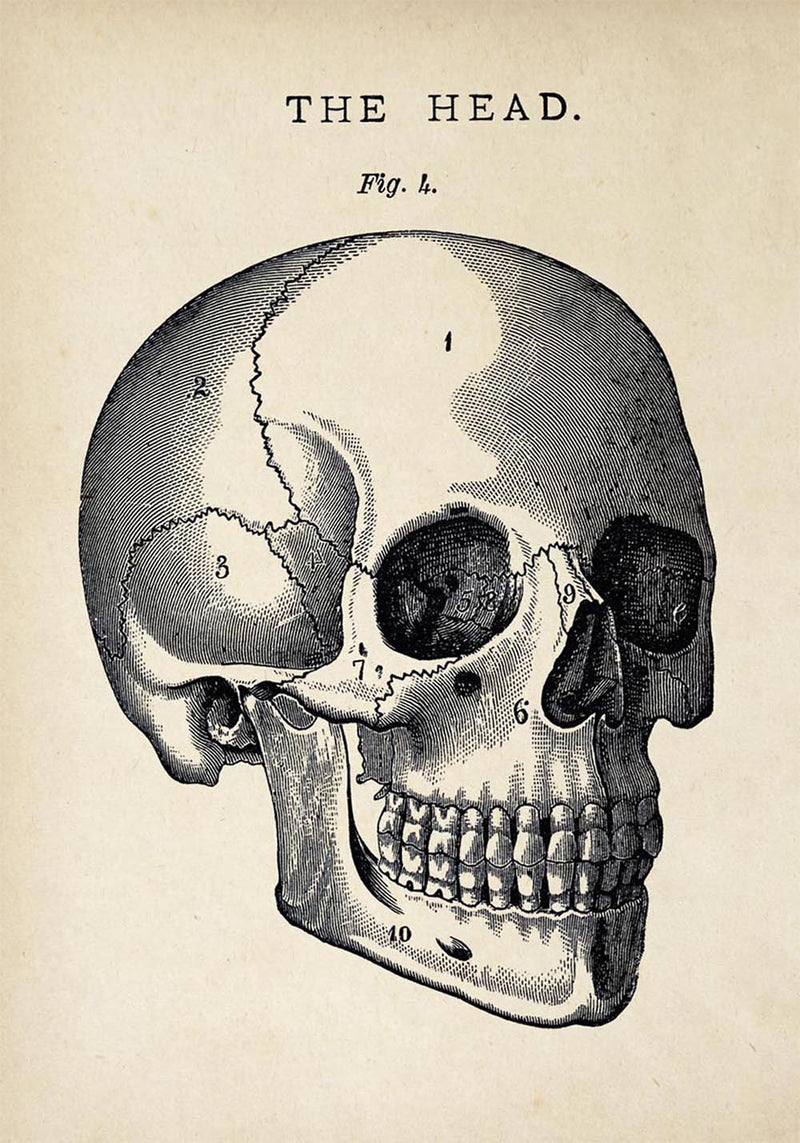 Antique Skull Poster by KURIOSIS