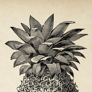Antique Pineapple Poster by KURIOSIS