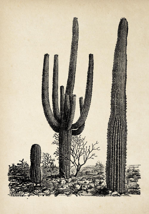 Antique Cactus Plant Poster by KURIOSIS