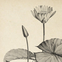 Antique Egyptian Lotus Flower Poster by KURIOSIS