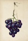 Antique Grapes Poster by KURIOSIS