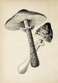 Antique Mushroom Poster by KURIOSIS