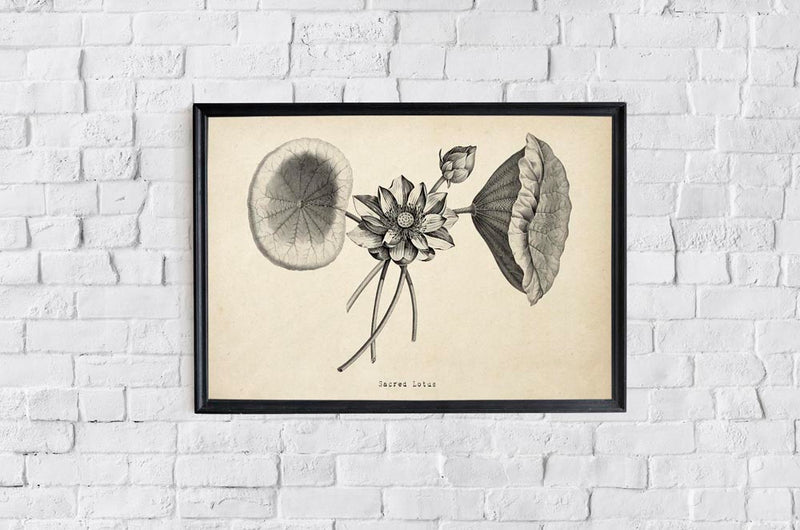 Antique Sacred Lotus Flower Poster by KURIOSIS