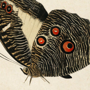 Antique Butterfly Poster by KURIOSIS