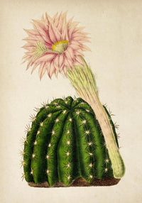 Antique Cactus with Flower Poster by KURIOSIS
