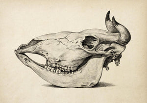 Antique Cow Skull Poster by KURIOSIS