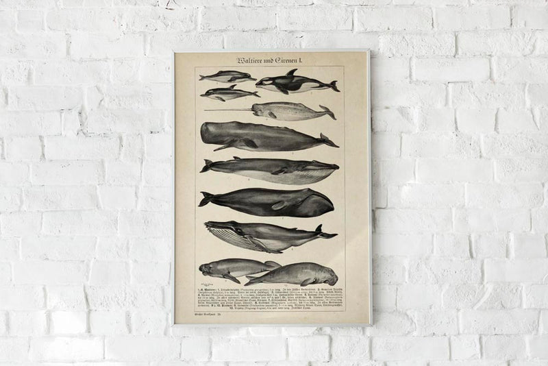 Antique Whales Chart Poster by KURIOSIS
