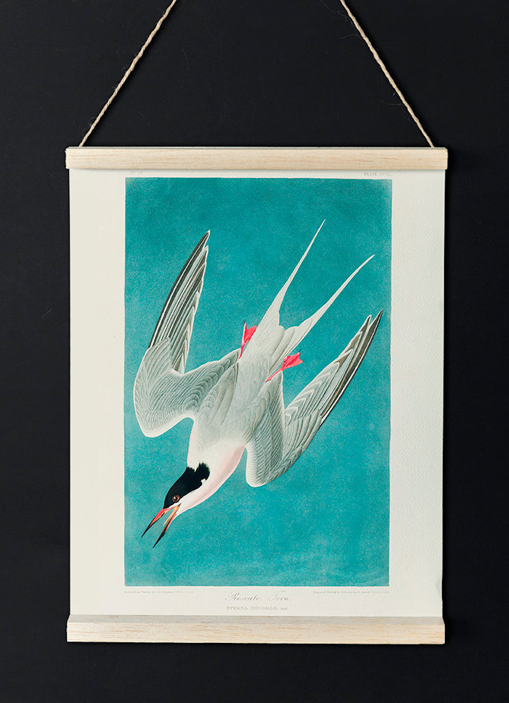Roseate Tern of Birds of America
