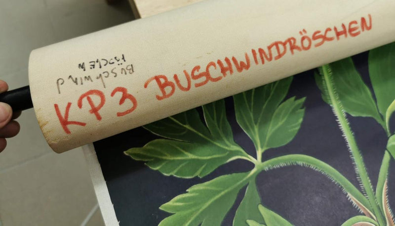 "Vintage Pull Down School Chart ""Buschwindröschen"" from Jung-Koch-Quentell from the 1960s"