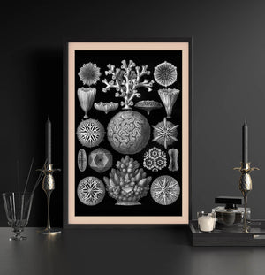 Hexacoralla by Haeckel Poster
