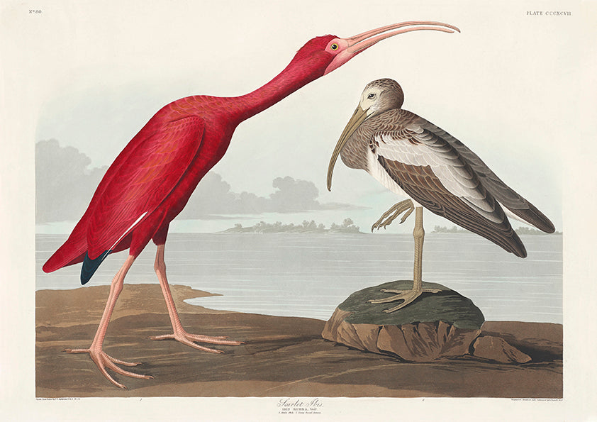 Scarlet Ibis of Birds of America