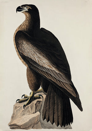 Great American Sea Eagle - Birds of America - Kuriosis Vintage Prints