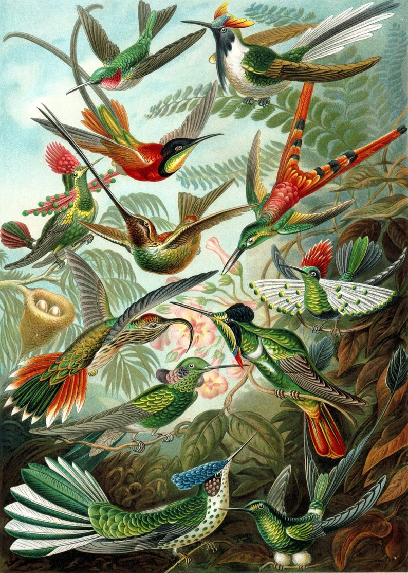 Birds of Paradise from Ernst Haeckel Vintage Poster - Kuriosis Vintage Prints