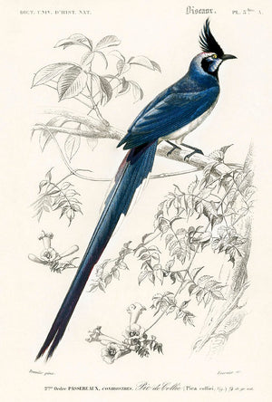 1892 Illustration of Pica Coiliei (black-throated Magpie)