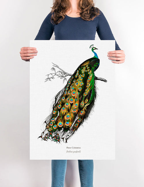 Indian Peafowl Vintage Illustration