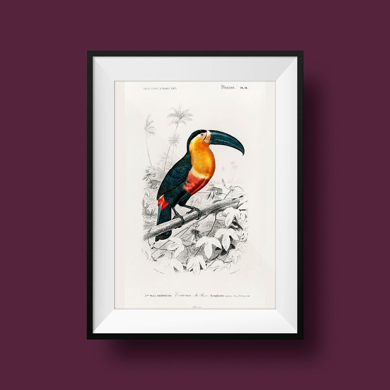 Toucan du Para Tropical Bird - Kuriosis Vintage Prints