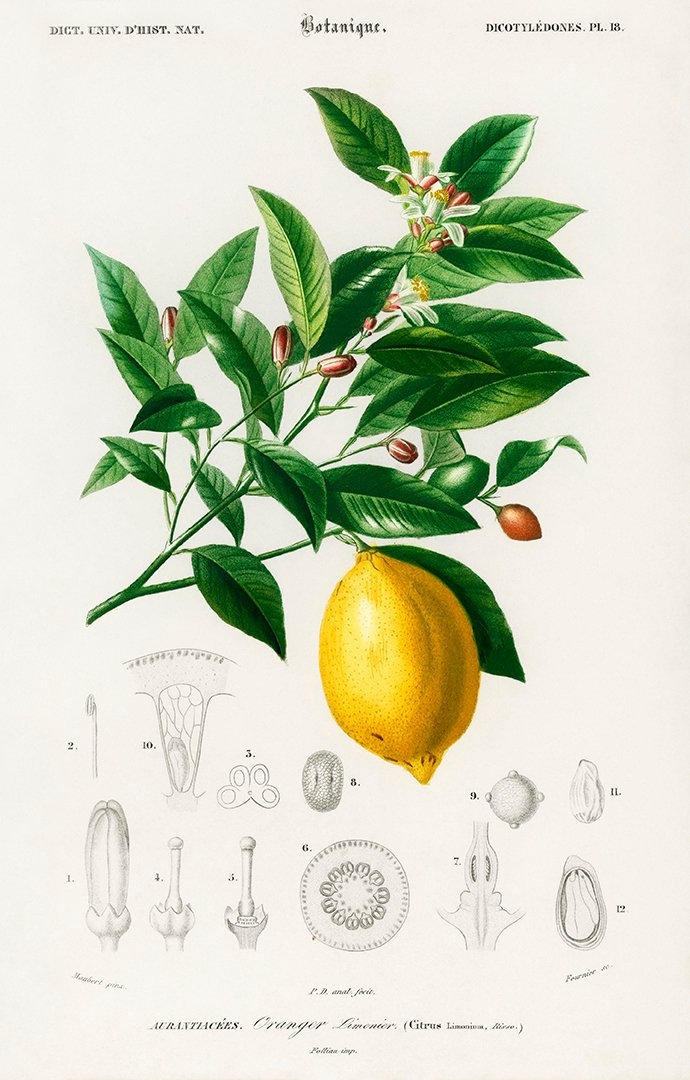 Lime Flower & Fruit Vintage Print
