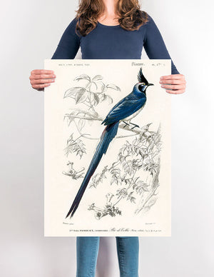 1892 Illustration of Pica Coiliei (black-throated Magpie) - Kuriosis Vintage Prints