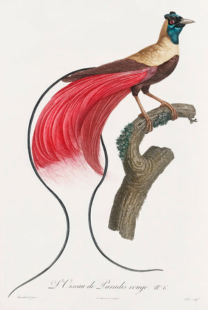 Red Bird of Paradise (L'Oiscau des Paradis rouge) - Kuriosis Vintage Prints
