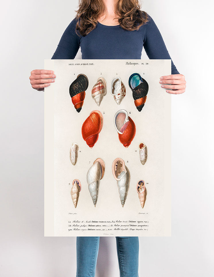 Shell Collection I - Kuriosis Vintage Prints